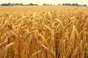 Beer Crisis Brewing as Heavy Rains Put a Pinch on America's Malt Barley Crops