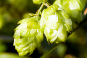 Craft Beer New York City | European Town Known for Producing Hops Will Soon Have Its Own Public Beer Fountain | Drink NYC